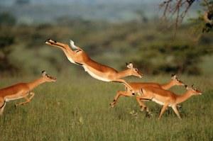 gazelle-leaping